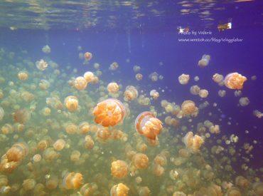 來到帛琉最後一個浮潛景點  水母湖也是最精采的  和成千上萬的水母一起游泳  好像來到了水母星球