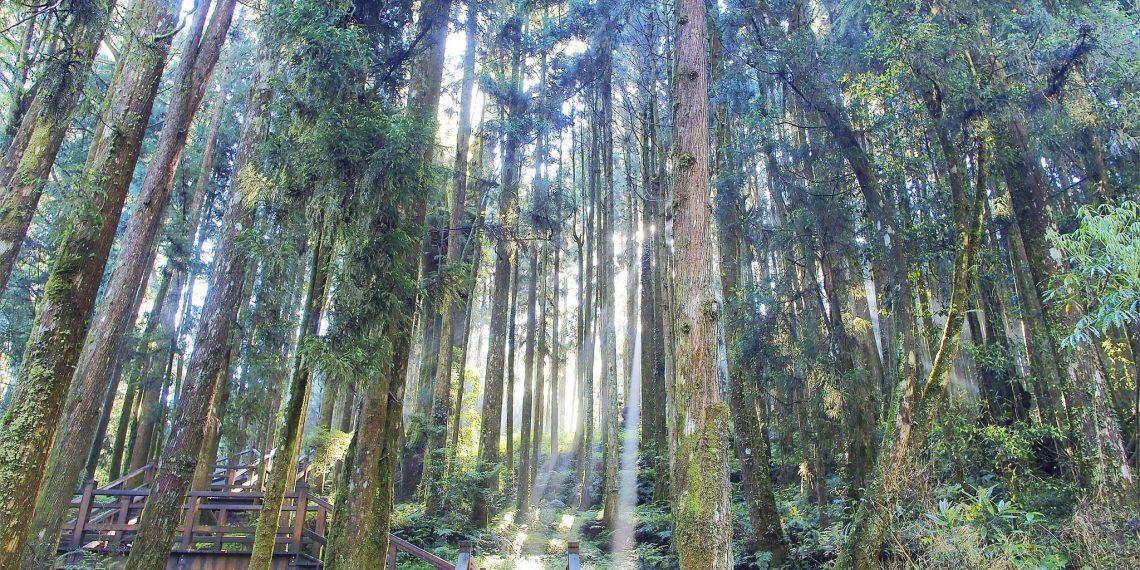 【嘉義 Chiayi】清晨的微光森林 神木車站 百年紅檜 漫步阿里山國家森林遊樂區 Alishan