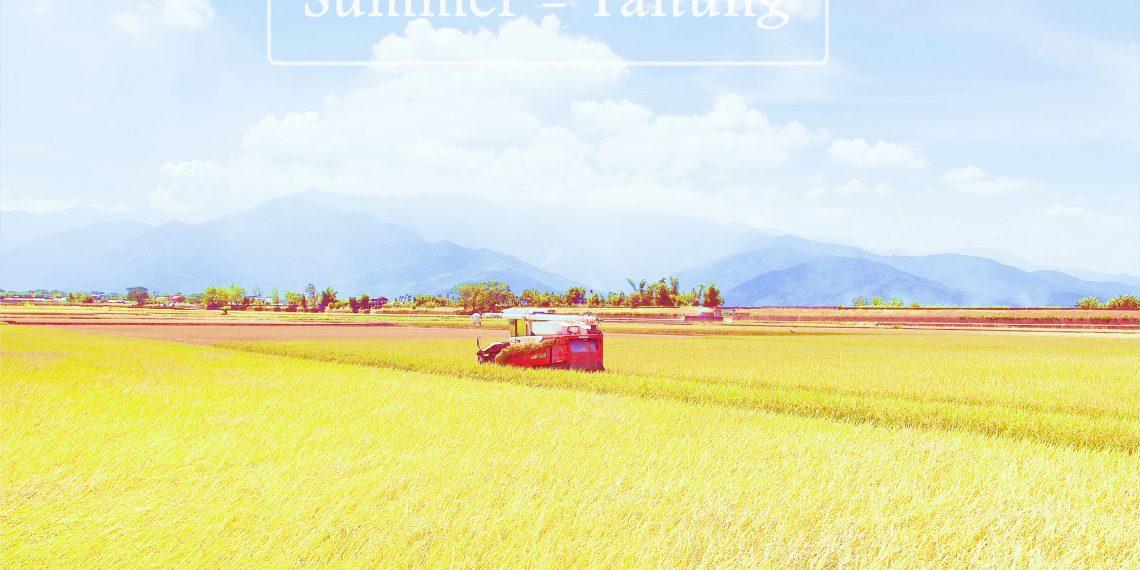 【台東 Taitung】池上伯朗大道 夏天稻田成熟的季節 租一台單車馳騁在金色稻浪中