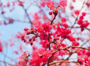今年陽明山的花季提早到來 趁著這天天氣好  提前來花鐘賞花 雖然沒有平菁街開的茂盛  但這裡的風景也很吸引人