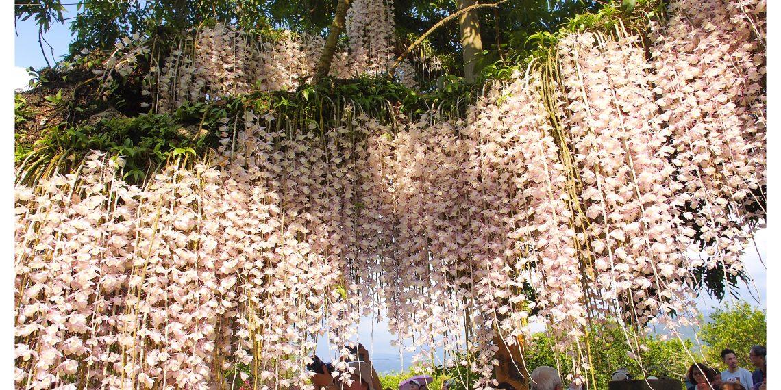 【台南 Tainan】白河欣賞盛開的石斛蘭花 猶如花瀑布垂掛在百年老龍眼樹上