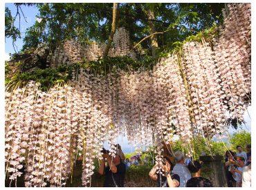 石斛蘭花開的季節  在台南白河一處可以欣賞到大批盛開的石斛蘭花 一串串花朵從樹上垂掛下來  數量多到猶如花瀑布一般